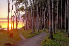 Sunrise at a beech forest Royalty Free Stock Image