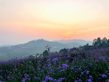 Sunrise behind mountain in the morning with small violet verbena flower blooming in the field. royalty free stock image