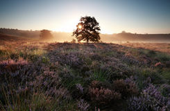 Sunrise behind oak tree on heather hills Stock Image