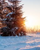 Sunrise behind a snow-covered fir tree. stock photo