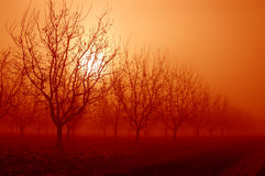 Sunrise Behind Walnut Trees Royalty Free Stock Photography