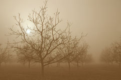 Sunrise Behind Walnut Trees Stock Images