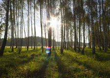 Sunrise in birch forest Stock Image