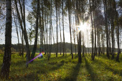 Sunrise in birch forest Royalty Free Stock Photos