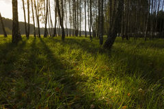 Sunrise in birch forest Royalty Free Stock Image
