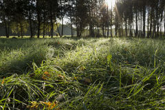 Sunrise in birch forest Stock Images