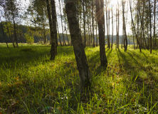 Sunrise in birch forest Stock Photos