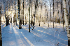 Sunrise in birches forest Royalty Free Stock Photography