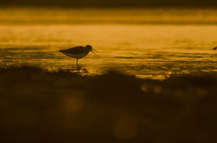 Sunrise with bird. Beautiful sunrise on a lake with Mute Bird in silhouette Stock Photos