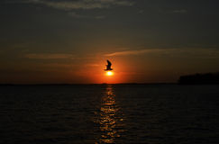 Sunrise Bird. Bird with wings extended over a rising sun. Perfectly timed with sun rays reflecting off the water Royalty Free Stock Images