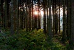 Sunrise through Blaen-y-Glyn/Blaenyglyn Forest and woodland Royalty Free Stock Photo