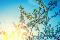 Sunrise in blossoming crone of cherry tree Royalty Free Stock Photography