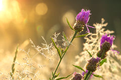 Sunrise on the blossoming summer meadow Royalty Free Stock Image