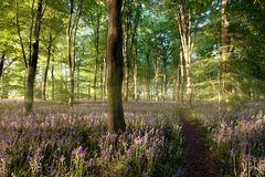 Sunrise in bluebell forest with little path Royalty Free Stock Photography