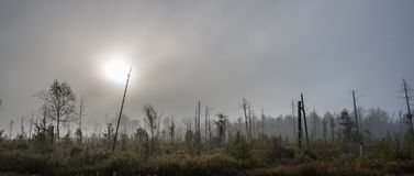 Sunrise on a bog with dead trees in fog Stock Photos