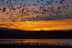 Sunrise at Bosque del Apache National Wildlife Refuge near Socor. Snow Geese and Sunrise at Bosque del Apache National Wildlife Refuge near Socorro, New Mexico Royalty Free Stock Photography