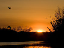 Sunrise at Brazos Bend. Dawn at Brazos Bend State Park, near Houston, Texas.  A Great Blue Heron (Ardea herodias) flies over the observation tower Royalty Free Stock Image