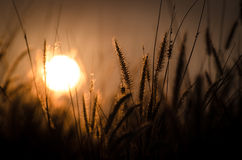 Sunrise on  flower grass Royalty Free Stock Photos