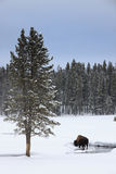 Sunrise Buffalo in Yellowstone Park. Wintertime Scenic View of Buffalo Near River in Yellowstone Parl Royalty Free Stock Photography