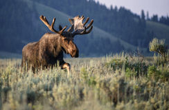 Sunrise bull moose in velvet. A bull moose in velvet walks through the sagebrush flats at sunrise in the town of Moose, Wyoming. Summer in Grand Teton national royalty free stock image