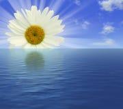 Sunrise camomile Stock Image