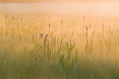 Sunrise Cattail Marsh Stock Images