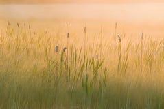 Sunrise Cattail Marsh Stock Images