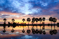 Sunrise in Chau Doc,Vietnam. Palms trees on the flooded rice field at sunríe Stock Photography
