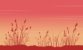 At sunrise with coarse grass scenery silhouettes Royalty Free Stock Image