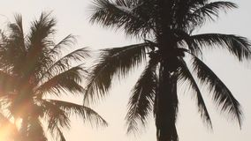 Sunrise in the coconut tree. The Sunrise in the coconut tree stock footage