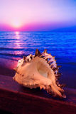 Sunrise conch shell Royalty Free Stock Image