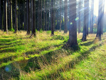 Sunrise in coniferous forest Royalty Free Stock Image