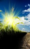 Sunrise on a cornfield Royalty Free Stock Images