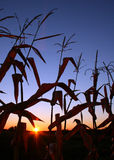 Sunrise in Cornfield. Sunrise through corn stalks in field stock photos