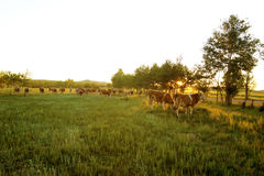 Sunrise and cows Stock Photo