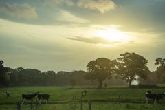 Sunrise and Cows. Sunrise behind clouds and green field with cows on a cloudy day Royalty Free Stock Images