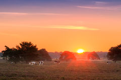 Sunrise cows Veluwe Royalty Free Stock Photos