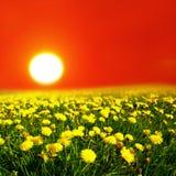 Sunrise on dandelion field stock images