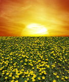 Sunrise of dandelion field Stock Photo