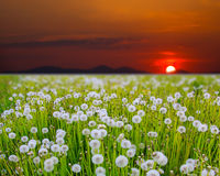 Sunrise on dandelion field Stock Photos