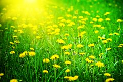 Sunrise on a dandelions field Stock Photo