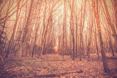 Sunrise in a danish forest Royalty Free Stock Photo