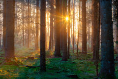 Sunrise in dark forest Royalty Free Stock Photos