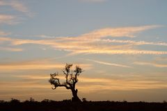 Sunrise with dead standing tree. Location: Kingdom of Oman, Jebel Akhdar in more than 2300 meter above sea level Royalty Free Stock Photography