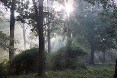Sunrise in dense forest Royalty Free Stock Photography