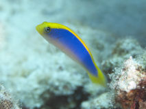 Sunrise dottyback Stock Image