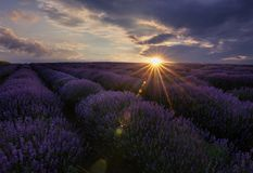 Sunrise and dramatic clouds over Lavender Field. Lavendar Field Sunset