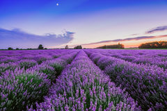 Sunrise and dramatic clouds over Lavender Field Royalty Free Stock Photography