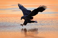 Sunrise with eagle. Hunter in weater. Eagle fight with fish. Winter scene with bird of prey. Big eagle, snow sea. Flight White-tai stock images