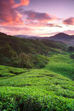 Sunrise in early morning. With fog at tea plantations in Cameron Highlands, Pahang, Malaysia Royalty Free Stock Photography